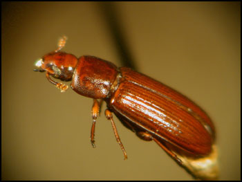 redflourbeetle
