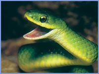 smooth-green-snake